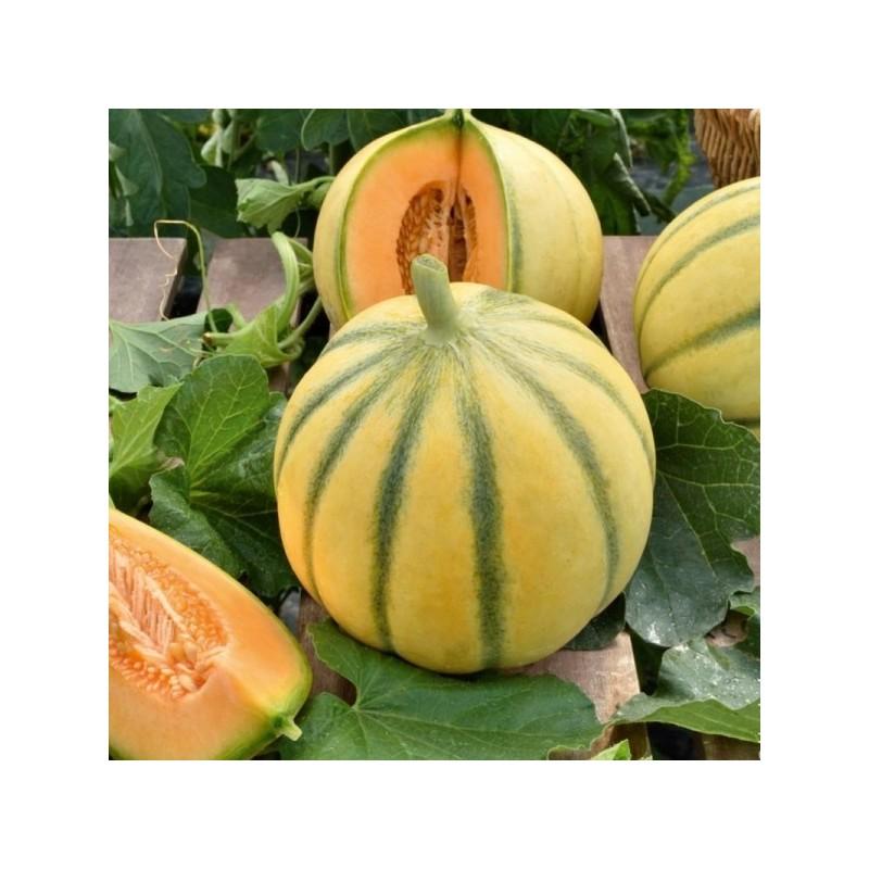 Melon Charentais bio (900g - 1,100kg)